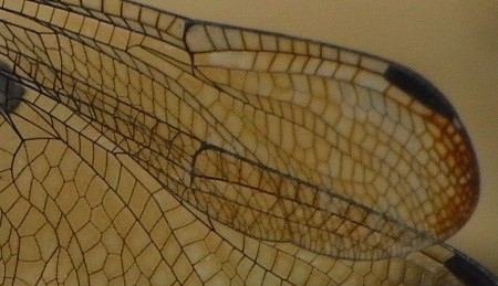 The pattern of a Dragonfly wing